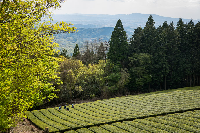 Working The Tea Fields high up in Wazuka, Japan (和束) -- Sōraku-gun -- Soraku-gun, Kyoto, Japan -- Copyright 2017 Jeffrey Friedl, http://regex.info/blog/ -- This photo is licensed to the public under the Creative Commons Attribution-NonCommercial 4.0 International License http://creativecommons.org/licenses/by-nc/4.0/ (non-commercial use is freely allowed if proper attribution is given, including a link back to this page on http://regex.info/ when used online)