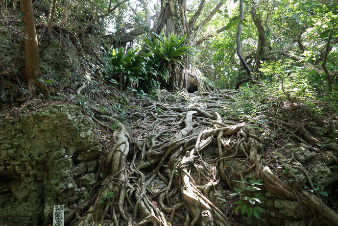 Another Freaky Tree -- 707 -- Nanjo, Okinawa, Japan -- Copyright 2018 Jeffrey Friedl, http://regex.info/blog/