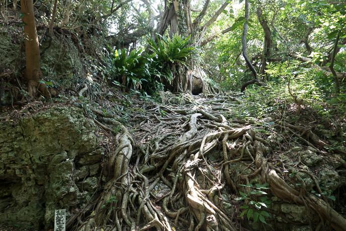 Another Freaky Tree -- 707 -- Nanjo, Okinawa, Japan -- Copyright 2018 Jeffrey Friedl, http://regex.info/blog/
