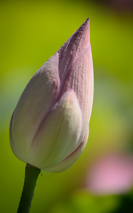 desktop background image of a lotus flower at the Kajui Temple (勧修寺) in Kyoto Japan  --  Early Stage  --  Kajuuji Temple (勧修寺)  --  Copyright 2012 Jeffrey Friedl, http://regex.info/blog/