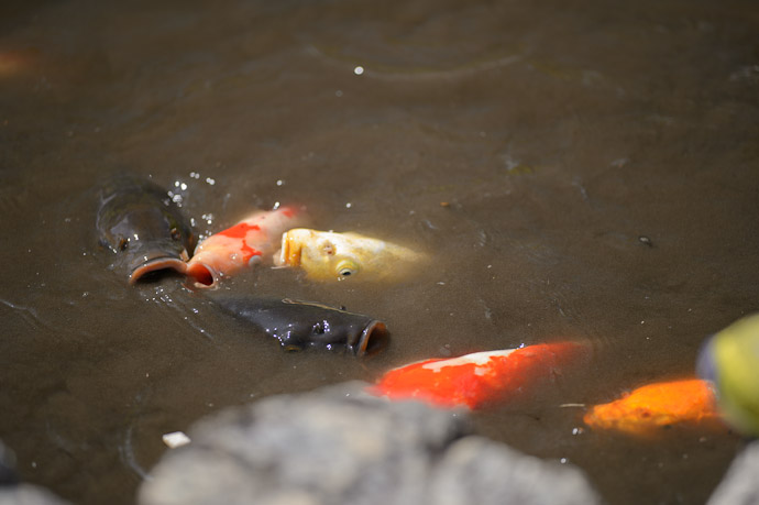 Feeding Frenzy for an ornamental fish, carp are really ugly up close  --  Kajuuji Temple (勧修寺)  --  Kyoto, Japan  --  Copyright 2012 Jeffrey Friedl, http://regex.info/blog/