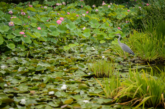 Gray, Pink, and White heron, lotuses, and lilies  --  Kajuuji Temple (勧修寺)  --  Kyoto, Japan  --  Copyright 2012 Jeffrey Friedl, http://regex.info/blog/