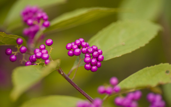 desktop background image of tiny purple berries  --  Little Berries in the fading twilight  --  Shoren'in Temple (青蓮院)  --  Kyoto, Japan  --  Copyright 2012 Jeffrey Friedl, http://regex.info/blog/  --  This photo is licensed to the public under the Creative Commons Attribution-NonCommercial 3.0 Unported License http://creativecommons.org/licenses/by-nc/3.0/ (non-commercial use is freely allowed if proper attribution is given, including a link back to this page on http://regex.info/ when used online)