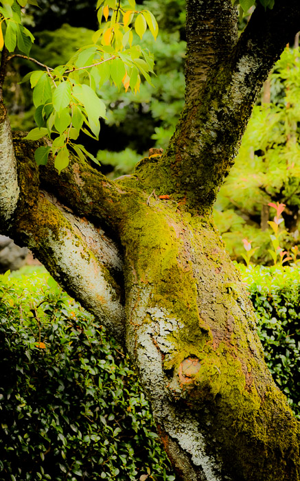 desktop background image of a moss-covered tree at the Myouhouin Temple (), Kyoto Japan