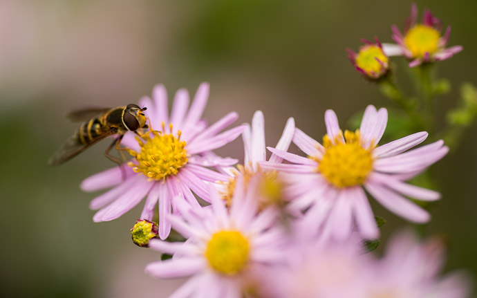 desktop background image of a bee on a flower, at the Shisendo Temple (), Kyoto Japan  --  Preparing for Winter  --  Shisendo Temple ()  --  Copyright 2012 Jeffrey Friedl, http://regex.info/blog/  --  This photo is licensed to the public under the Creative Commons Attribution-NonCommercial 3.0 Unported License http://creativecommons.org/licenses/by-nc/3.0/ (non-commercial use is freely allowed if proper attribution is given, including a link back to this page on http://regex.info/ when used online)