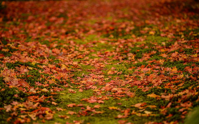 desktop background image of a fall-foliage garden scene from the Enkoji Temple (), Kyoto Japan -- Messy Lawn #2 -- Enkouji Temple () -- Copyright 2012 Jeffrey Friedl, http://regex.info/blog/ -- This photo is licensed to the public under the Creative Commons Attribution-NonCommercial 3.0 Unported License http://creativecommons.org/licenses/by-nc/3.0/ (non-commercial use is freely allowed if proper attribution is given, including a link back to this page on http://regex.info/ when used online)