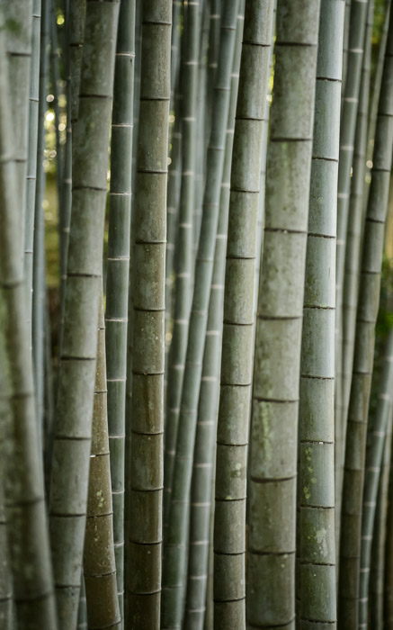 desktop background image of a bamboo grove, at the Enkoji Temple (), Kyoto Japan -- Grove -- Enkouji Temple () -- Copyright 2012 Jeffrey Friedl, http://regex.info/blog/ -- This photo is licensed to the public under the Creative Commons Attribution-NonCommercial 3.0 Unported License http://creativecommons.org/licenses/by-nc/3.0/ (non-commercial use is freely allowed if proper attribution is given, including a link back to this page on http://regex.info/ when used online)