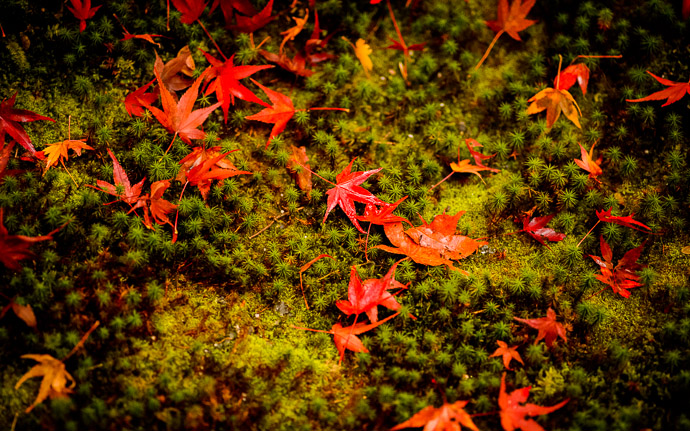 desktop background image of a fall-foliage garden scene from the Enkoji Temple (), Kyoto Japan -- Scattered -- Enkouji Temple () -- Copyright 2012 Jeffrey Friedl, http://regex.info/blog/ -- This photo is licensed to the public under the Creative Commons Attribution-NonCommercial 3.0 Unported License http://creativecommons.org/licenses/by-nc/3.0/ (non-commercial use is freely allowed if proper attribution is given, including a link back to this page on http://regex.info/ when used online)