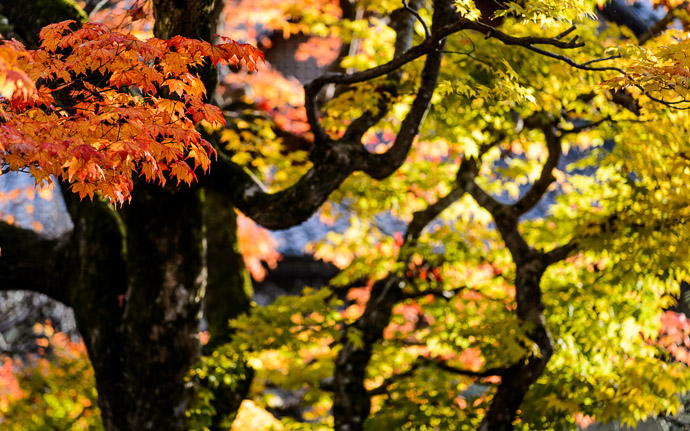 desktop background image of a fall-foliage garden scene from the Enkoji Temple (), Kyoto Japan -- Splash of Sun -- Enkouji Temple () -- Copyright 2012 Jeffrey Friedl, http://regex.info/blog/ -- This photo is licensed to the public under the Creative Commons Attribution-NonCommercial 3.0 Unported License http://creativecommons.org/licenses/by-nc/3.0/ (non-commercial use is freely allowed if proper attribution is given, including a link back to this page on http://regex.info/ when used online)