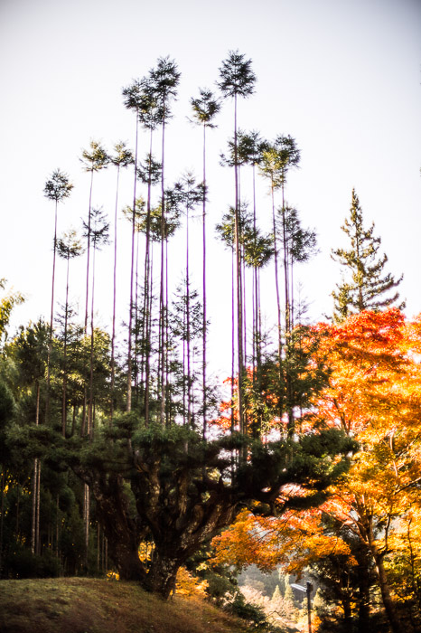 Funky Trees discussed in the text and comments of this post  --  Sourenji Temple (宗蓮寺)  --  Kyoto, Japan  --  Copyright 2012 Jeffrey Friedl, http://regex.info/blog/  --  This photo is licensed to the public under the Creative Commons Attribution-NonCommercial 3.0 Unported License http://creativecommons.org/licenses/by-nc/3.0/ (non-commercial use is freely allowed if proper attribution is given, including a link back to this page on http://regex.info/ when used online)