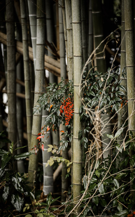 desktop background image of red berries in a bamboo grove, Near the Sanzen-in Temple (), Kyoto Japan -- Berries and Bamboo red berries are a sure sign of Winter's approach in Kyoto -- Near the Sanzen-in Temple () -- Copyright 2012 Jeffrey Friedl, http://regex.info/blog/ -- This photo is licensed to the public under the Creative Commons Attribution-NonCommercial 3.0 Unported License http://creativecommons.org/licenses/by-nc/3.0/ (non-commercial use is freely allowed if proper attribution is given, including a link back to this page on http://regex.info/ when used online)