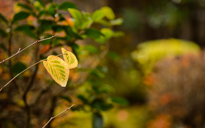 desktop background image of a pair of leaves in the garden of the Housen-in Temple (), Kyoto Japan  --  Housen-in Temple ()  --  Copyright 2012 Jeffrey Friedl, http://regex.info/blog/  --  This photo is licensed to the public under the Creative Commons Attribution-NonCommercial 3.0 Unported License http://creativecommons.org/licenses/by-nc/3.0/ (non-commercial use is freely allowed if proper attribution is given, including a link back to this page on http://regex.info/ when used online)
