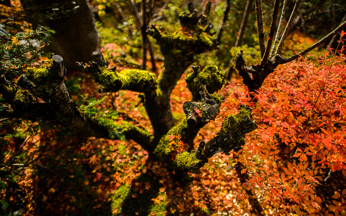 desktop background image of a fall-foliage garden scene at the Housen-in Temple (宝泉院), Kyoto Japan  --  Intense  --  Housen-in Temple (宝泉院)  --  Copyright 2012 Jeffrey Friedl, http://regex.info/blog/2013-02-16/2211  --  This photo is licensed to the public under the Creative Commons Attribution-NonCommercial 3.0 Unported License http://creativecommons.org/licenses/by-nc/3.0/ (non-commercial use is freely allowed if proper attribution is given, including a link back to this page on http://regex.info/ when used online)