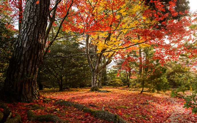 desktop background image of a fall-foliage scene at the Shugakuin Imperial Villa (修学院離宮), Kyoto Japan  --  Near the Waiting Area  --  Shugakuin Imperial Villa (修学院離宮)  --  Copyright 2012 Jeffrey Friedl, http://regex.info/blog/  --  This photo is licensed to the public under the Creative Commons Attribution-NonCommercial 3.0 Unported License http://creativecommons.org/licenses/by-nc/3.0/ (non-commercial use is freely allowed if proper attribution is given, including a link back to this page on http://regex.info/ when used online)