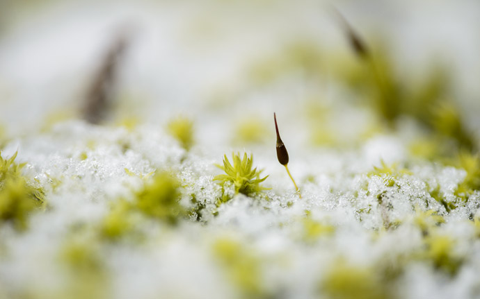 desktop background image of moss on a snow-covered stone lantern, at Nishimura Stone Lanterns (), Kyoto Japan  --  Alien Landscape moss on a snow-covered stone lantern  --  Nishimura Stone Lanterns ()  --  Copyright 2013 Jeffrey Friedl, http://regex.info/blog/  --  This photo is licensed to the public under the Creative Commons Attribution-NonCommercial 3.0 Unported License http://creativecommons.org/licenses/by-nc/3.0/ (non-commercial use is freely allowed if proper attribution is given, including a link back to this page on http://regex.info/ when used online)