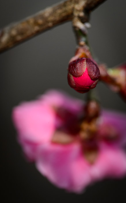 desktop background image of a pink plum blossom and a red plum bud about to bloom, at the Kitano Tenmangu Shrine (北野