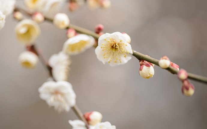 desktop background image of plum blossoms at the Kitano Tenmangu Shrine (北野天満宮), Kyoto Japan -- Kitano Tenmangu Shrine (北野天満宮) -- Copyright 2013 Jeffrey Friedl, http://regex.info/blog/ -- This photo is licensed to the public under the Creative Commons Attribution-NonCommercial 3.0 Unported License http://creativecommons.org/licenses/by-nc/3.0/ (non-commercial use is freely allowed if proper attribution is given, including a link back to this page on http://regex.info/ when used online)