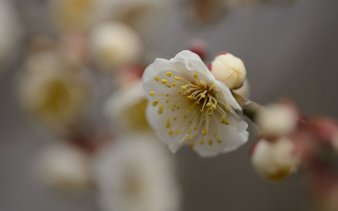 desktop background image of plum blossoms at the Kitano Tenmangu Shrine (北野天満宮), Kyoto Japan  --  Wide Open at f/2.5  --  Kitano Tenmangu Shrine (北野天満宮)  --  Copyright 2013 Jeffrey Friedl, http://regex.info/blog/  --  This photo is licensed to the public under the Creative Commons Attribution-NonCommercial 3.0 Unported License http://creativecommons.org/licenses/by-nc/3.0/ (non-commercial use is freely allowed if proper attribution is given, including a link back to this page on http://regex.info/ when used online)