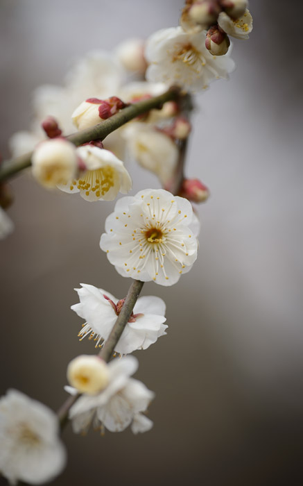 desktop background image of plum blossoms at the Kitano Tenmangu Shrine (北野天満宮), Kyoto Japan  --  Dish Array  --  Kitano Tenmangu Shrine (北野天満宮)  --  Copyright 2013 Jeffrey Friedl, http://regex.info/blog/  --  This photo is licensed to the public under the Creative Commons Attribution-NonCommercial 3.0 Unported License http://creativecommons.org/licenses/by-nc/3.0/ (non-commercial use is freely allowed if proper attribution is given, including a link back to this page on http://regex.info/ when used online)