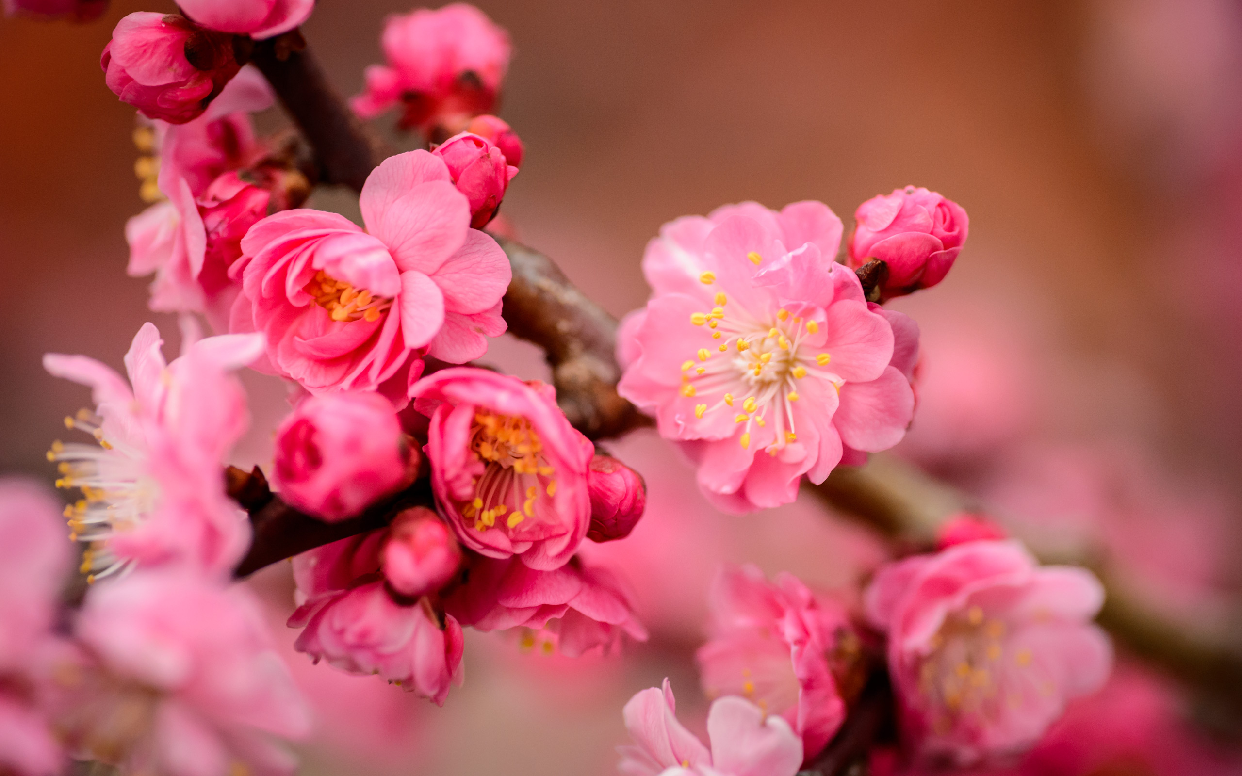 Image result for The Red Plum Blossoms