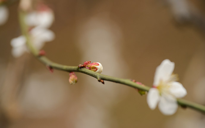desktop background image of a peach blossom at the Kyoto Imperial Palace Park (), Kyoto Japan -- Kyoto Imperial Palace Park () -- Copyright 2013 Jeffrey Friedl, http://regex.info/blog/ -- This photo is licensed to the public under the Creative Commons Attribution-NonCommercial 3.0 Unported License http://creativecommons.org/licenses/by-nc/3.0/ (non-commercial use is freely allowed if proper attribution is given, including a link back to this page on http://regex.info/ when used online)