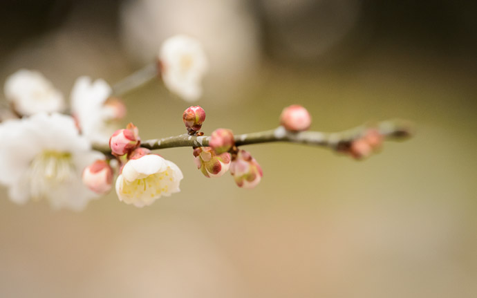 desktop background image of a peach blossom at the Kyoto Imperial Palace Park (京都御所), Kyoto Japan -- Kyoto Imperial Palace Park (京都御所) -- Copyright 2013 Jeffrey Friedl, http://regex.info/blog/ -- This photo is licensed to the public under the Creative Commons Attribution-NonCommercial 3.0 Unported License http://creativecommons.org/licenses/by-nc/3.0/ (non-commercial use is freely allowed if proper attribution is given, including a link back to this page on http://regex.info/ when used online)