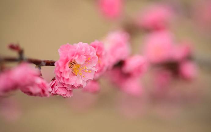 desktop background image of a peach blossom at the Kyoto Imperial Palace Park (京都御所), Kyoto Japan -- Just One More Shot -- Kyoto Imperial Palace Park (京都御所) -- Copyright 2013 Jeffrey Friedl, http://regex.info/blog/ -- This photo is licensed to the public under the Creative Commons Attribution-NonCommercial 3.0 Unported License http://creativecommons.org/licenses/by-nc/3.0/ (non-commercial use is freely allowed if proper attribution is given, including a link back to this page on http://regex.info/ when used online)