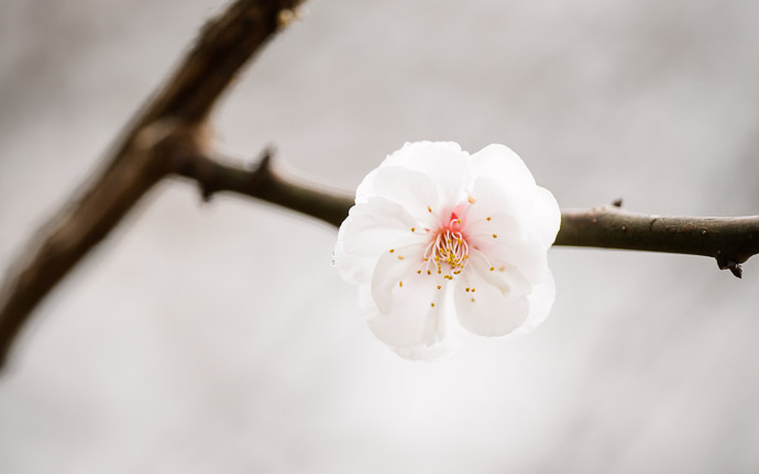 desktop background image of a peach blossom at the Kyoto Imperial Palace Park (), Kyoto Japan -- Just One More Shot -- Kyoto Imperial Palace Park () -- Copyright 2013 Jeffrey Friedl, http://regex.info/blog/ -- This photo is licensed to the public under the Creative Commons Attribution-NonCommercial 3.0 Unported License http://creativecommons.org/licenses/by-nc/3.0/ (non-commercial use is freely allowed if proper attribution is given, including a link back to this page on http://regex.info/ when used online)
