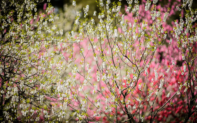 desktop background image of peach blossoms at the Kyoto Imperial Palace Park (Kyoto Gosho, 京都御所) -- Kyoto Imperial Palace Park ( Kyoto Gosho , 京都御所) -- Kyoto, Japan -- Copyright 2013 Jeffrey Friedl, http://regex.info/blog/ -- This photo is licensed to the public under the Creative Commons Attribution-NonCommercial 3.0 Unported License http://creativecommons.org/licenses/by-nc/3.0/ (non-commercial use is freely allowed if proper attribution is given, including a link back to this page on http://regex.info/ when used online)