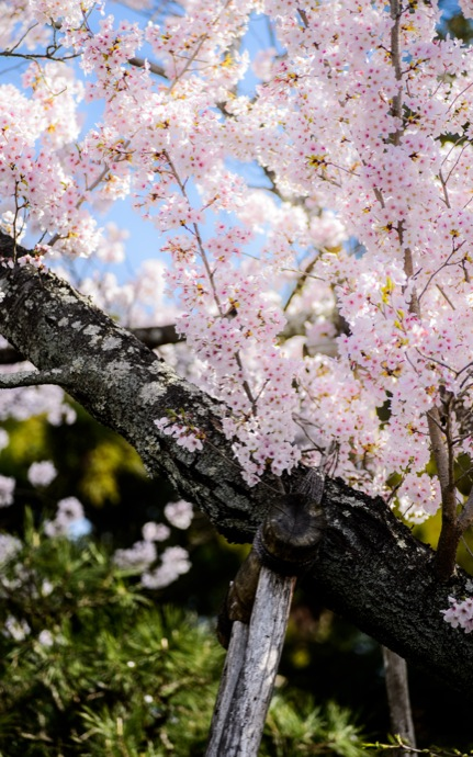 cherry blossoms at the Ryouanji Temple (龍安寺), Kyoto Japan