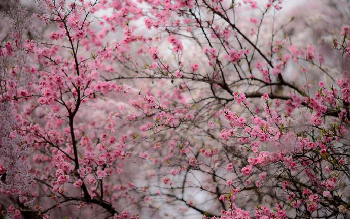 cherry-blossom scene at the gorgeous Haradanien Garden (原谷苑), Kyoto Japan