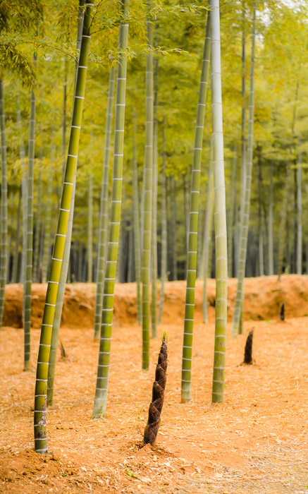 desktop background image of new bamboo growth at a managed grove in Kyoto, Japan -- New Growth Bamboo Farm, Kyoto Japan — Apr 2013 -- Copyright 2013 Jeffrey Friedl, http://regex.info/blog/ -- This photo is licensed to the public under the Creative Commons Attribution-NonCommercial 4.0 International License http://creativecommons.org/licenses/by-nc/4.0/ (non-commercial use is freely allowed if proper attribution is given, including a link back to this page on http://regex.info/ when used online)