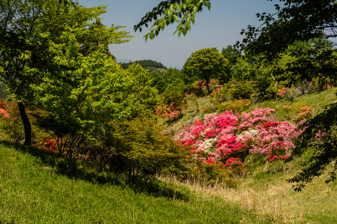 Azalea Hill -- Mt. Hiei (比叡山) -- Kyoto, Japan -- Copyright 2013 Jeffrey Friedl, http://regex.info/blog/ -- This photo is licensed to the public under the Creative Commons Attribution-NonCommercial 3.0 Unported License http://creativecommons.org/licenses/by-nc/3.0/ (non-commercial use is freely allowed if proper attribution is given, including a link back to this page on http://regex.info/ when used online)