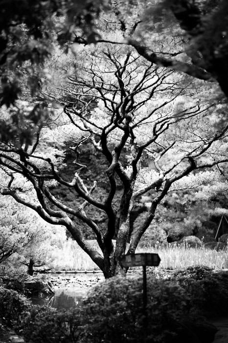Interesting Tree -- Heian Shrine (平安神宮) -- Kyoto, Japan -- Copyright 2013 Jeffrey Friedl, http://regex.info/blog/ -- This photo is licensed to the public under the Creative Commons Attribution-NonCommercial 3.0 Unported License http://creativecommons.org/licenses/by-nc/3.0/ (non-commercial use is freely allowed if proper attribution is given, including a link back to this page on http://regex.info/ when used online)