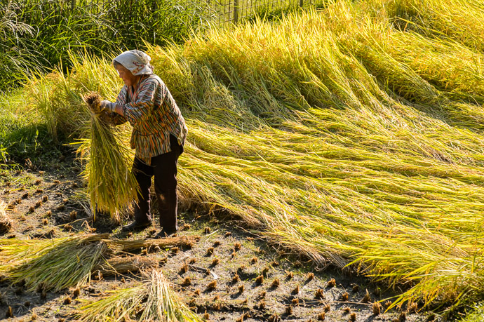 Bundling Fresh-Cut Rice Kyoto Japan — Sep 2013 ( More of this lady working her field here ) -- Copyright 2013 Jeffrey Friedl, http://regex.info/blog/ -- This photo is licensed to the public under the Creative Commons Attribution-NonCommercial 4.0 International License http://creativecommons.org/licenses/by-nc/4.0/ (non-commercial use is freely allowed if proper attribution is given, including a link back to this page on http://regex.info/ when used online)