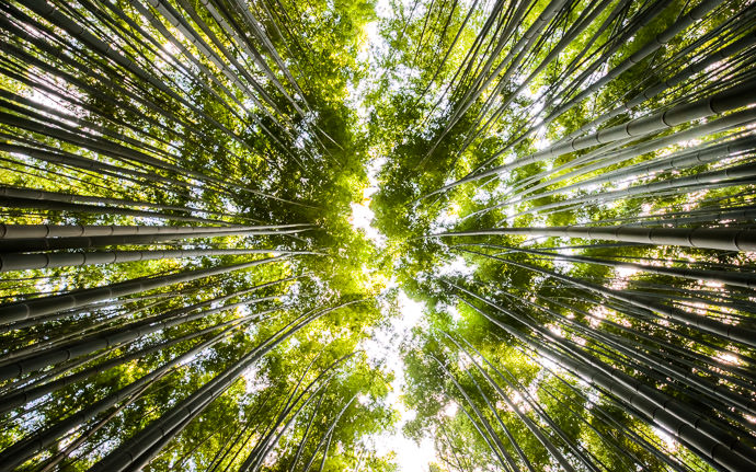 desktop background image of the canopy of a bamboo grove in the Arashiyama area of Kyoto, Japan (嵐山竹やぶ) -- Arashiyama Bamboo Grove -- Arashiyama Bamboo Forest (嵐山竹やぶ) -- Copyright 2013 Jeffrey Friedl, http://regex.info/blog/ -- This photo is licensed to the public under the Creative Commons Attribution-NonCommercial 3.0 Unported License http://creativecommons.org/licenses/by-nc/3.0/ (non-commercial use is freely allowed if proper attribution is given, including a link back to this page on http://regex.info/ when used online)