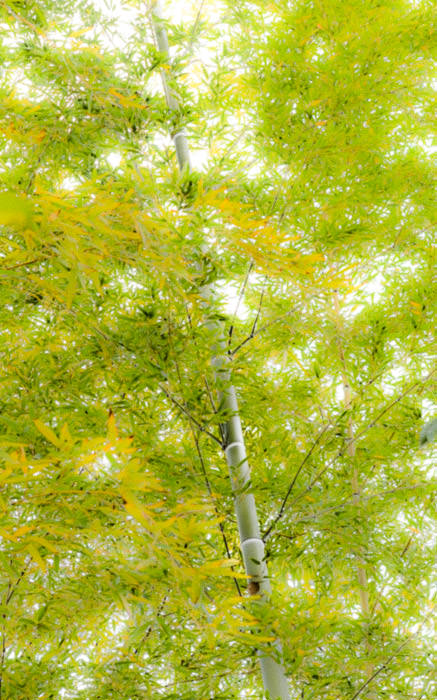 desktop background image of some artsy bamboo, at the Seifuso Villa (清風荘), Kyoto Japan -- Artsy Bamboo on the path to the tea house -- Seifuso Villa (清風荘) -- Copyright 2013 Jeffrey Friedl, http://regex.info/blog/ -- This photo is licensed to the public under the Creative Commons Attribution-NonCommercial 4.0 International License http://creativecommons.org/licenses/by-nc/4.0/ (non-commercial use is freely allowed if proper attribution is given, including a link back to this page on http://regex.info/ when used online)