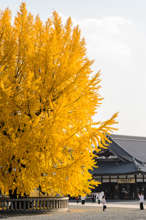 Big Yellow Tree It's big. It's yellow. It's a tree. at the Nishi Hongwanji Temple (西本願寺), Kyoto Japan -- Nishi Hongwanji Temple (西本願寺) -- Copyright 2013 Jeffrey Friedl, http://regex.info/blog/2013-12-04/2347 -- This photo is licensed to the public under the Creative Commo