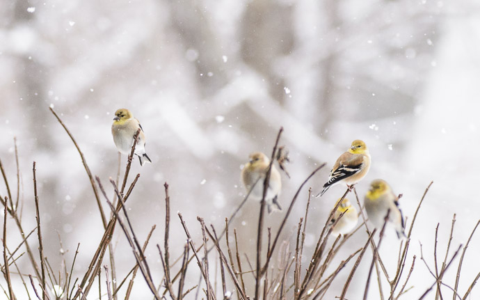 desktop background image of goldfinches on a bush in the snow -- Puffy -- Copyright 2013 Jeffrey Friedl, http://regex.info/blog/ -- This photo is licensed to the public under the Creative Commons Attribution-NonCommercial 4.0 International License http://creativecommons.org/licenses/by-nc/4.0/ (non-commercial use is freely allowed if proper attribution is given, including a link back to this page on http://regex.info/ when used online)