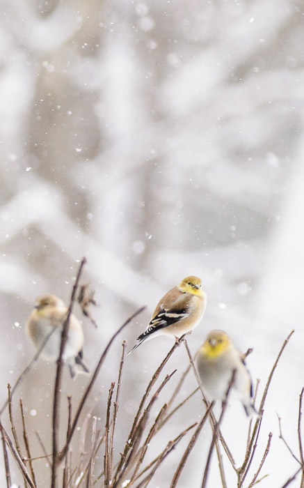 desktop background image of goldfinches on a bush in the snow -- Copyright 2013 Jeffrey Friedl, http://regex.info/blog/ -- This photo is licensed to the public under the Creative Commons Attribution-NonCommercial 4.0 International License http://creativecommons.org/licenses/by-nc/4.0/ (non-commercial use is freely allowed if proper attribution is given, including a link back to this page on http://regex.info/ when used online)