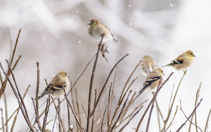 desktop background image of goldfinches on a bush in the snow -- Keeping an Eye on Me -- Copyright 2013 Jeffrey Friedl, http://regex.info/blog/ -- This photo is licensed to the public under the Creative Commons Attribution-NonCommercial 4.0 International License http://creativecommons.org/licenses/by-nc/4.0/ (non-commercial use is freely allowed if proper attribution is given, including a link back to this page on http://regex.info/ when used online)