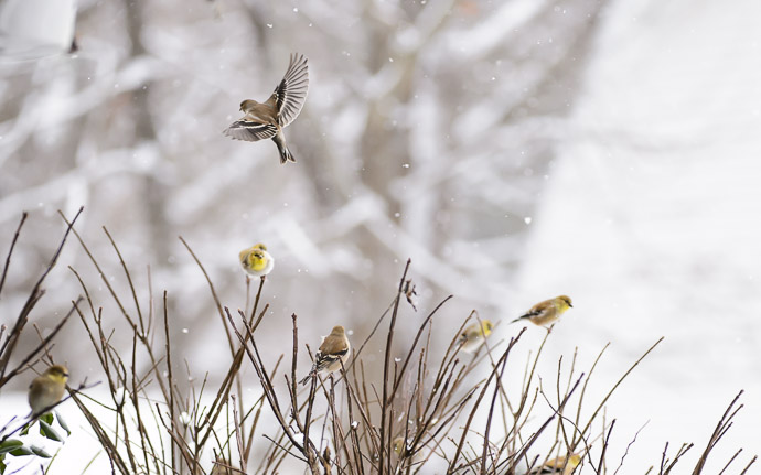desktop background image of goldfinches on a bush in the snow -- Bush of Goldfinches -- Copyright 2013 Jeffrey Friedl, http://regex.info/blog/ -- This photo is licensed to the public under the Creative Commons Attribution-NonCommercial 4.0 International License http://creativecommons.org/licenses/by-nc/4.0/ (non-commercial use is freely allowed if proper attribution is given, including a link back to this page on http://regex.info/ when used online)