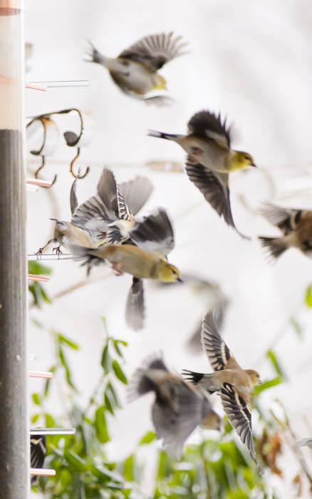 desktop background image of goldfinches flying from a feeder -- They'll Be Back -- Copyright 2013 Jeffrey Friedl, http://regex.info/blog/ -- This photo is licensed to the public under the Creative Commons Attribution-NonCommercial 4.0 International License http://creativecommons.org/licenses/by-nc/4.0/ (non-commercial use is freely allowed if proper attribution is given, including a link back to this page on http://regex.info/ when used online)