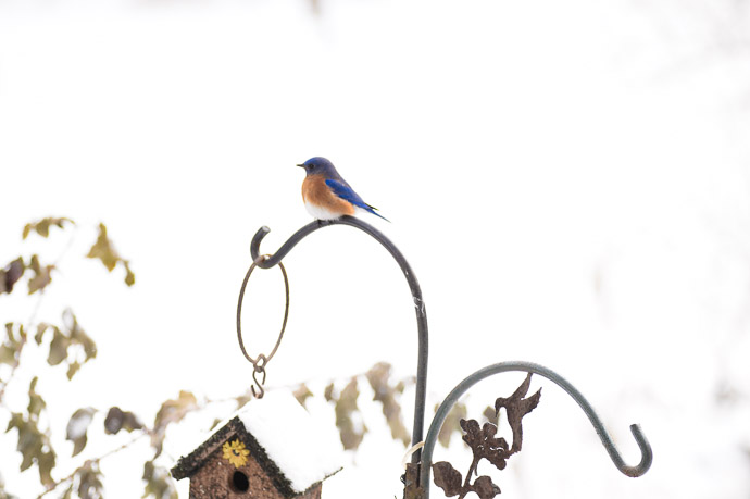 Bluebird -- Copyright 2014 Jeffrey Friedl, http://regex.info/blog/ -- This photo is licensed to the public under the Creative Commons Attribution-NonCommercial 4.0 International License http://creativecommons.org/licenses/by-nc/4.0/ (non-commercial use is freely allowed if proper attribution is given, including a link back to this page on http://regex.info/ when used online)