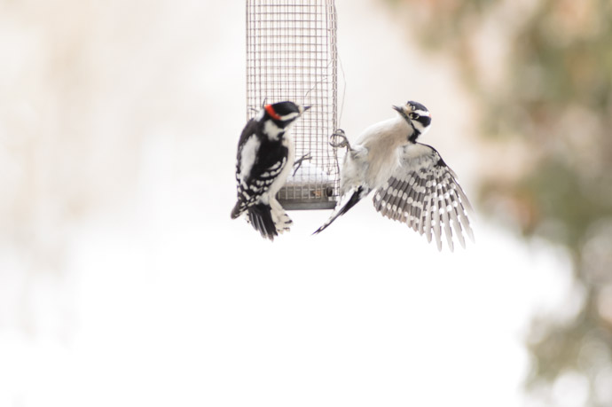 Downy Woodpeckers -- Copyright 2014 Jeffrey Friedl, http://regex.info/blog/ -- This photo is licensed to the public under the Creative Commons Attribution-NonCommercial 4.0 International License http://creativecommons.org/licenses/by-nc/4.0/ (non-commercial use is freely allowed if proper attribution is given, including a link back to this page on http://regex.info/ when used online)