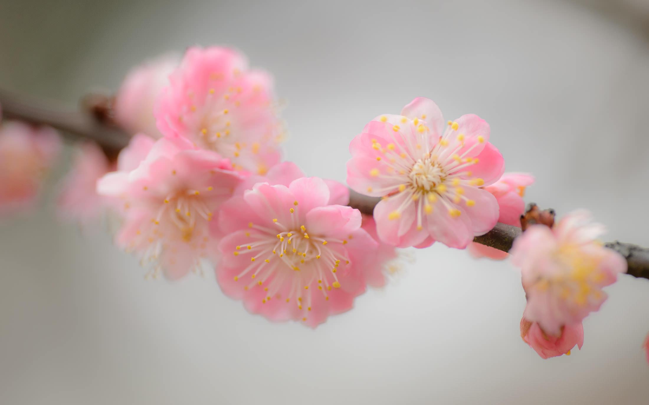 jeffrey friedl u0026 39 s blog  u00bb photoshoot with ikuko among the plum blossoms  part 1