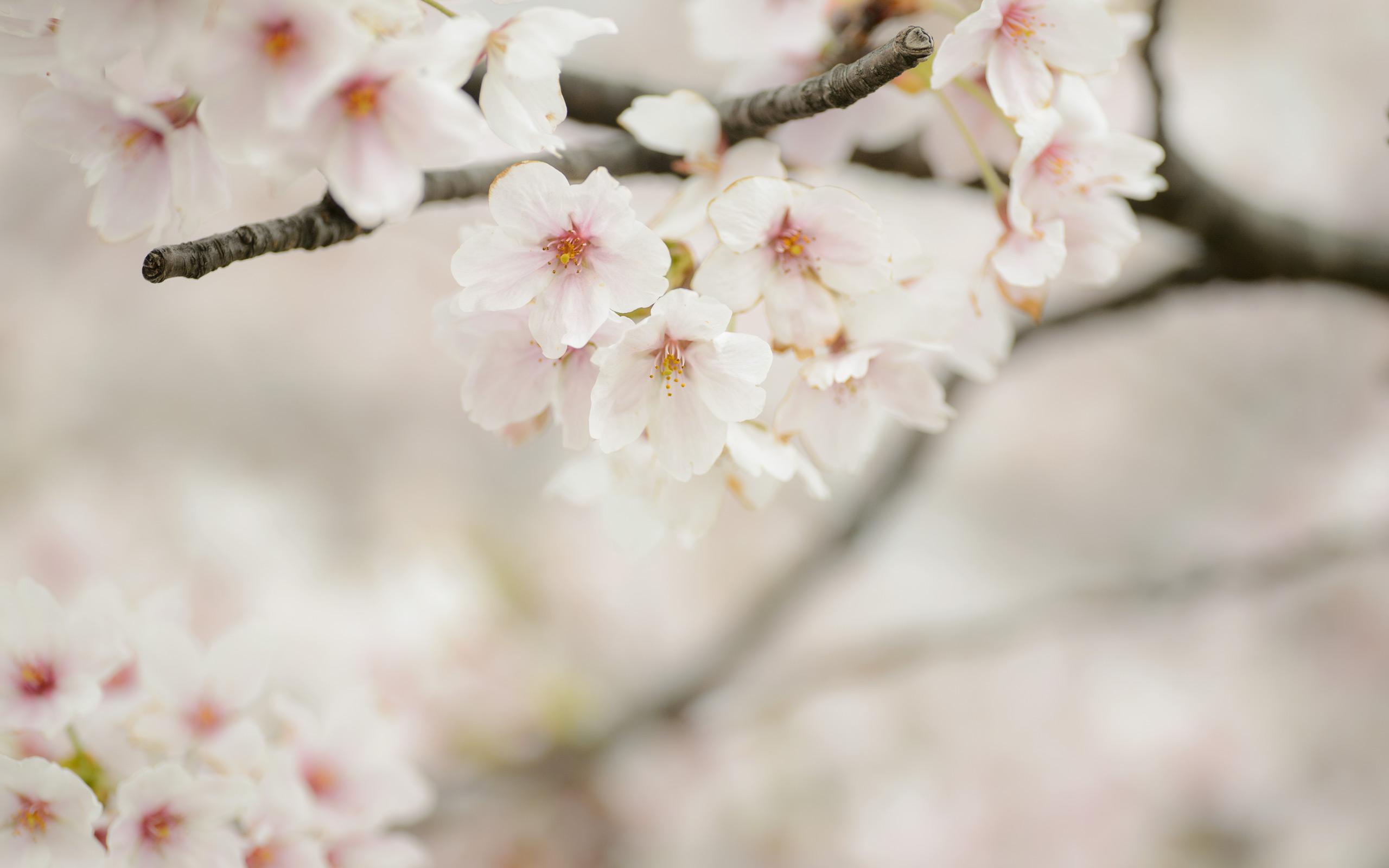 Cute Cherry Blossom Wallpaper Desktop