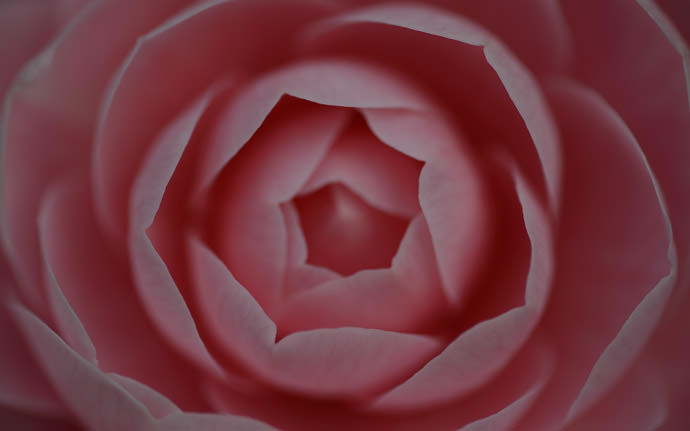 desktop background image of a pink Japanese camellia (乙女椿) -- Brooding Beauty straight out of the camera -- Michinoku Hot Springs (みちのく温泉) -- Nishitsugaru, Aomori, Japan -- Copyright 2014 Jeffrey Friedl, http://regex.info/blog/2014-05-02/2415 -- This photo is licensed to the public under the Creative Commons Attribution-NonCommercial 4.0 International License http://creativecommons.org/licenses/by-nc/4.0/ (non-commercial use is freely allowed if proper attribution is given, including a link back to this page on http://regex.info/ when used online)