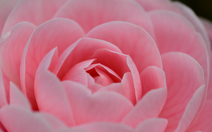 desktop background image of a pink Japanese camellia (乙女椿) -- Michinoku Hot Springs (みちのく温泉) -- Nishitsugaru, Aomori, Japan -- Copyright 2014 Jeffrey Friedl, http://regex.info/blog/ -- This photo is licensed to the public under the Creative Commons Attribution-NonCommercial 4.0 International License http://creativecommons.org/licenses/by-nc/4.0/ (non-commercial use is freely allowed if proper attribution is given, including a link back to this page on http://regex.info/ when used online)