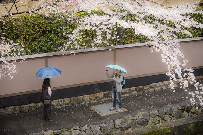 Cherry Blossoms in Kyoto amidst a light rain 小雨の桜、京都で -- Kyoto, Japan -- Copyright 2015 Jeffrey Friedl, http://regex.info/blog/